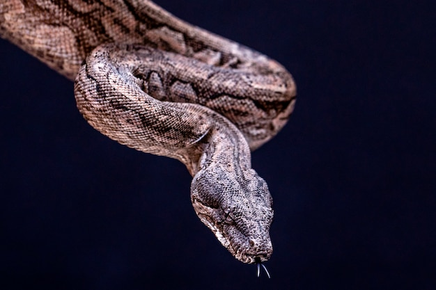 ボアコンストリクターは、大人のサイズが2メートル(ボアコンストリクターアマラリ)から4メートル(ボアコンストリクターコンストリクター)に達することができる魚のヘビです。ブラジルでは、2番目に大きいヘビがいます。