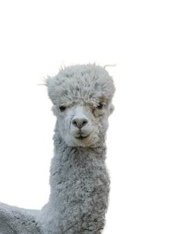 흰색 배경에 격리된 아름다운 회색 알파카의 몸. 아름다운 머리를 가진 길들인 애완동물의 초상화.