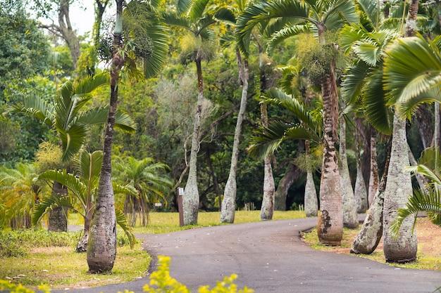 Pamplemousses 식물원, hyophorbe lagenicaulis, 모리셔스의 bottle palm tree.