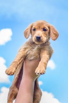 少年はコッカースパニエルの高い子犬の品種を持ち上げます。