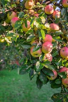 枝には赤いリンゴのクローズアップが散らばっています