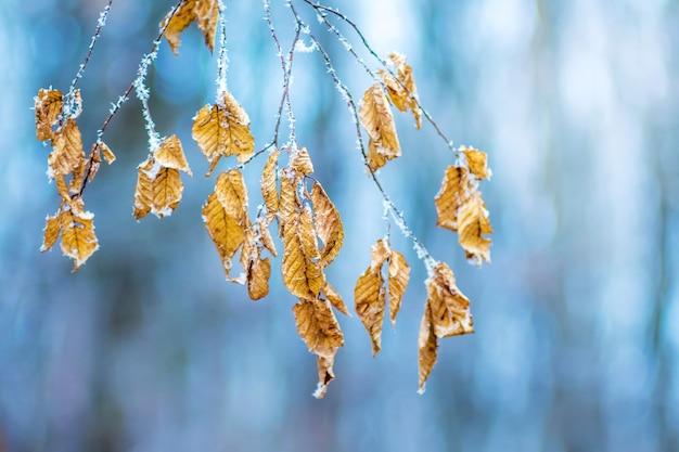澄んだ凍るような冬の日の青い背景に、霜で覆われた葉のある木のシデの枝_