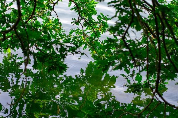 Ветка дуба свисает в воду