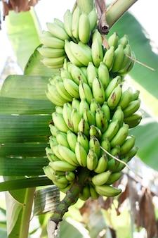 緑のバナナの枝はヤシの木に生えています