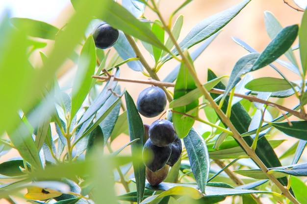 검은 올리브 나무의 가지