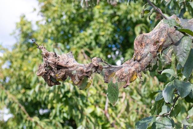 Ветка дерева густо покрыта паутиной, в которой личинки белой бабочки. дерево поражено паутиной