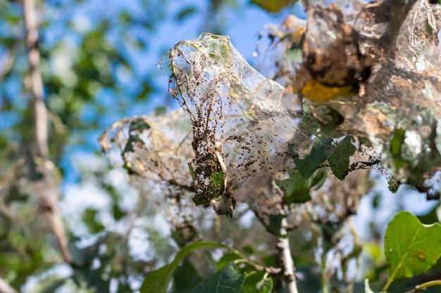 나무의 가지는 흰 나비의 애벌레가 있는 거미줄로 빽빽하게 덮여 있습니다. 나무는 거미줄의 영향을 받습니다.