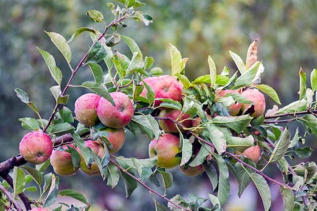 Ветка с созревшими из красных яблок. щедрый урожай яблок