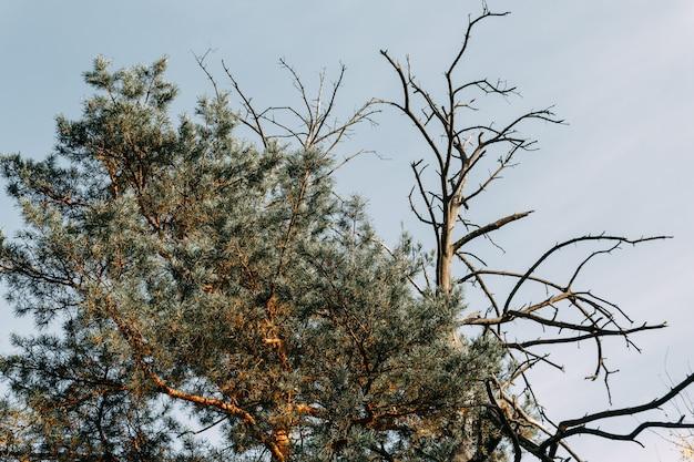 오래된 마른 소나무와 어린 녹색 소나무 가지가 푸른 하늘에 얽혀 있습니다. 세대교체의 개념.