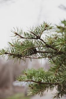 マクロの日のトウヒ、マツ、茂みの枝