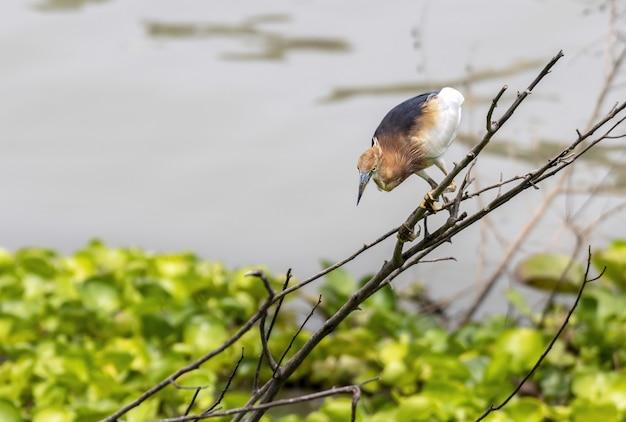 獲物を待ち伏せするのを待っている枝にとまる繁殖中の大人のジャワアカガシラサギ