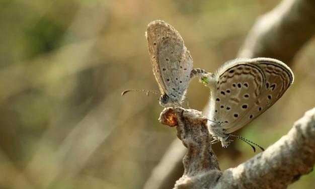 蝶の繁殖、レッサーグラスブルー。