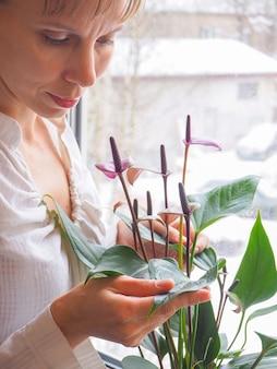실내 식물의 번식. 여성 정원사는 안스리움 꽃을 지킵니다.