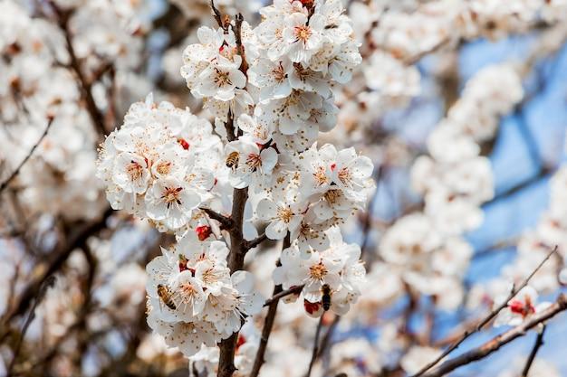 Яркое цветение абрикоса в солнечную погоду и летящая пчела к цветам