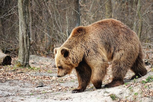 Бурый медведь (ursus arctos), большой самец, гуляет по лесу