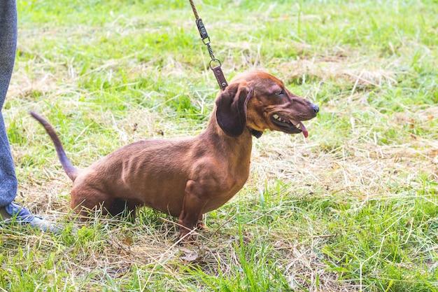 갈색 닥스 훈트는 산책하는 동안 가죽 끈에 소유자 근처의 잔디에 앉아 있습니다.