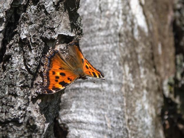 Коричневая бабочка рен (лат. aglais urticae, nymphalis urticae) покоится на коре дерева
