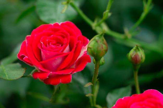Бутон и цветок ярко-красной розы сорта шоне кобленцерин