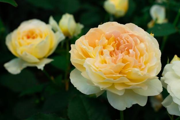Бутон и цветок нежной желтой розы