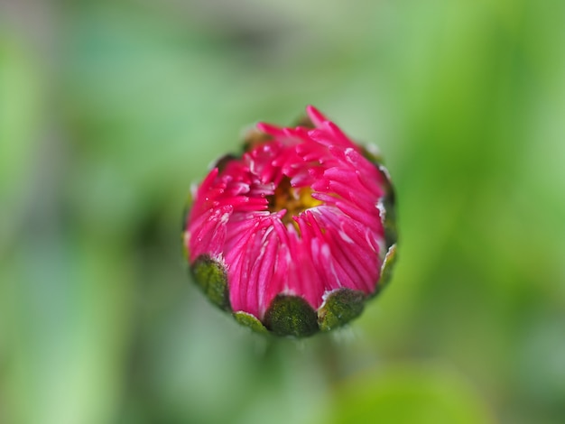 開花の準備をしている赤い野花コスモスのつぼみが間近に。背景をぼかした写真