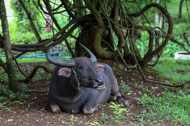 バッファローはタイの庭の木の下で休憩
