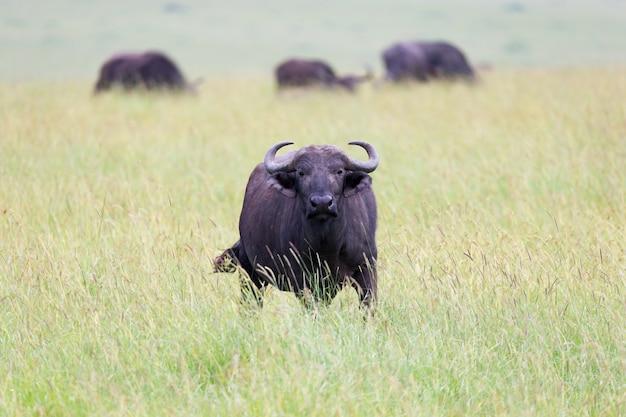 バッファローは草地の牧草地の真ん中に立っています。