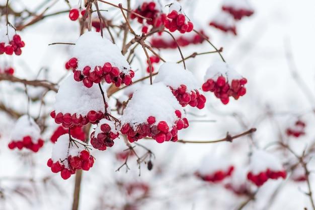 Грозди калины под снегом, зимой во время снегопада_