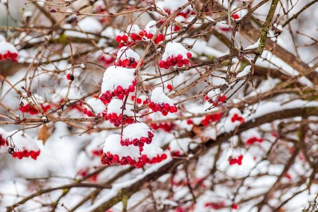 Грозди калины под снегом, зимой во время снегопада_ Premium Фотографии