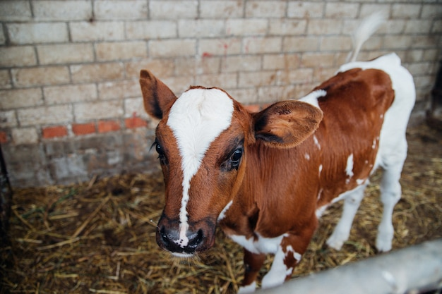 Теленок окрашен в краску, глаза большие. крупный рогатый скот с большими рогами.