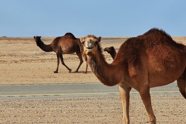 サウジアラビア、砂漠のラクダ
