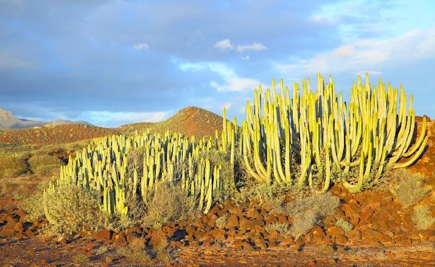 Молочай канарских островов (euphorbia canariensis) на закате в тенерифе, канарские острова.