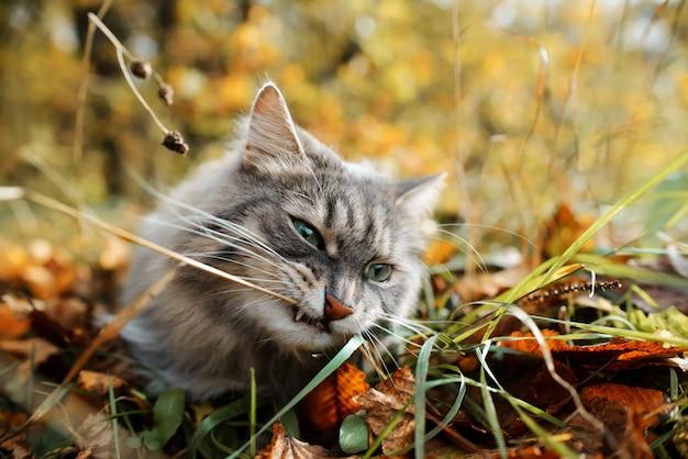 Кошка кусает траву в осеннем лесу, крупный план.