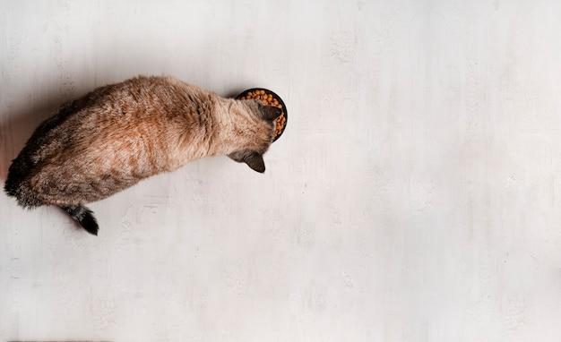 Кошка ест сухой корм. колор пойнт кот. светлый фон. фото высокого качества