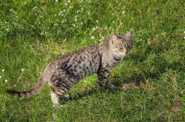 Кот щурится на зеленой лужайке летом