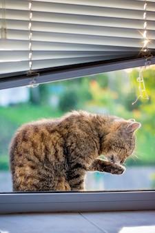 猫は窓枠に座って洗われます。清潔さのケア、毎日の洗濯_