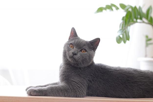 猫は花のある窓の近くのライトテーブルに横になっています。窓際の猫。
