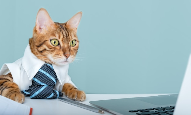 고양이 사무실 직원은 사무실 테이블에 앉아 노트북 화면을 봅니다. 넥타이를 매고 있는 벵골 고양이는 컴퓨터를 사용하고 응용 프로그램이나 프로젝트를 개발합니다