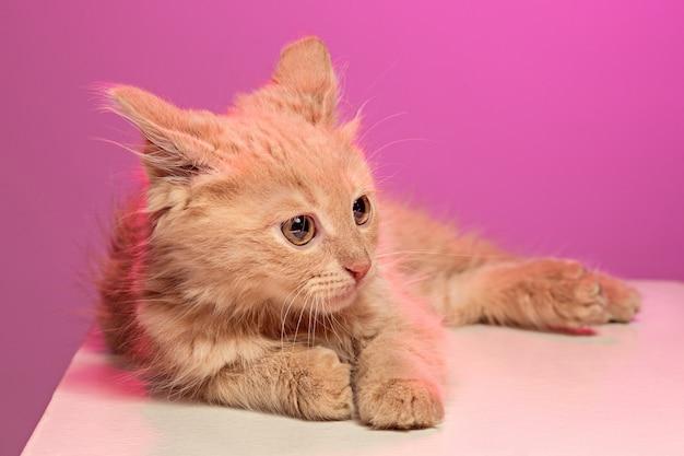 분홍색 벽에 고양이