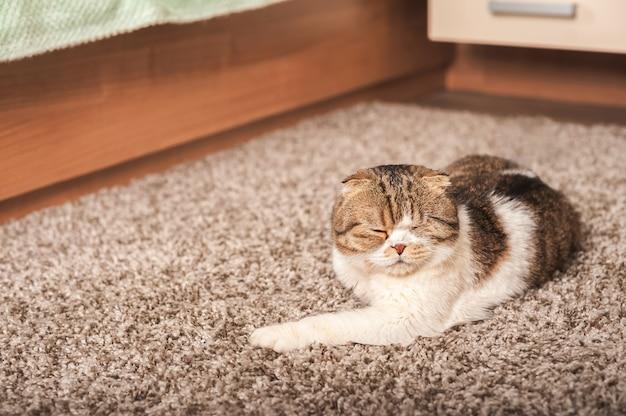 猫は家でグレーのカーペットの上で寝ています。国内のスコティッシュフォールド猫のクローズアップの肖像画。