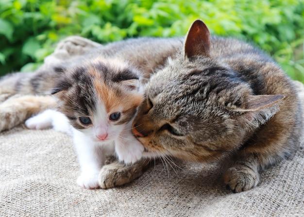 Мама кошка полосатая заботится о своем маленьком котенке белого с черными и красными пятнами