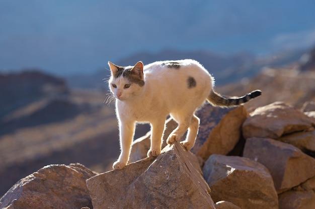 고양이는 이집트의 모세 산을 배경으로 길을 따라 걷는다