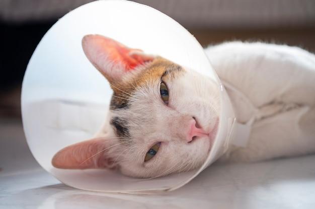 猫は不妊手術後の傷口をなめるのを防ぐために首輪をつけています病気の猫のコンセプト