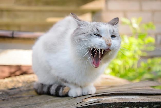 Кот широко зевает, как будто на кого-то кричит