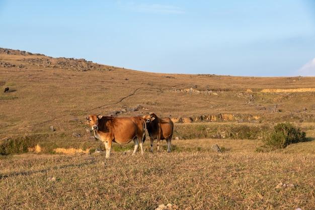 초원의 소들이 풀을 먹고 있다