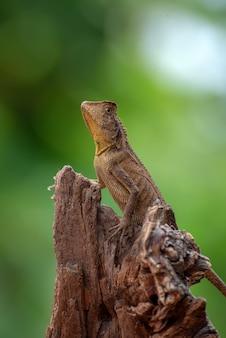 Хамелеон лесной дракон на ветке дерева