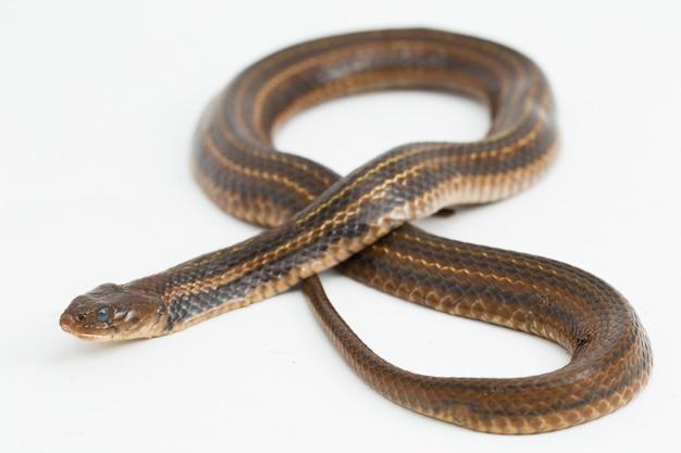 체크 무늬 용골 가금류 piscator 아시아 물 뱀 격리 됨 흰색 배경
