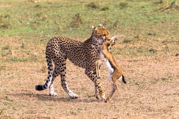 Гепард поймал импалу восточная африка
