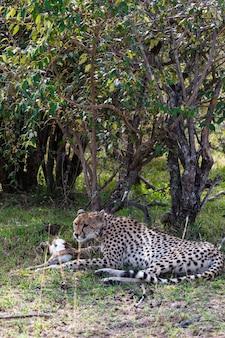 Гепард устал после гонки на импалу отдыхает в кустах кения африка