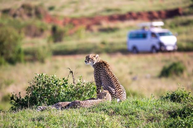 ケニアのサバンナに2人の子供を持つチーターの母親