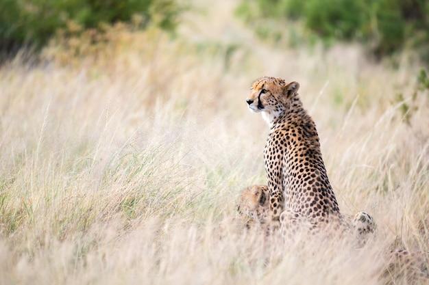 Гепард сидит в саванне в поисках добычи